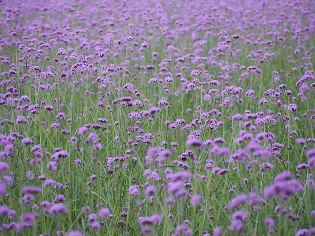 Campo de flores verbena brilhante de manhã Foto Premium