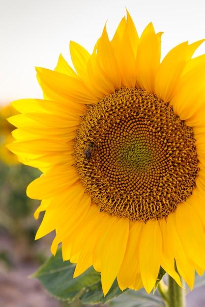 Campo de girassóis amarelos Foto Premium