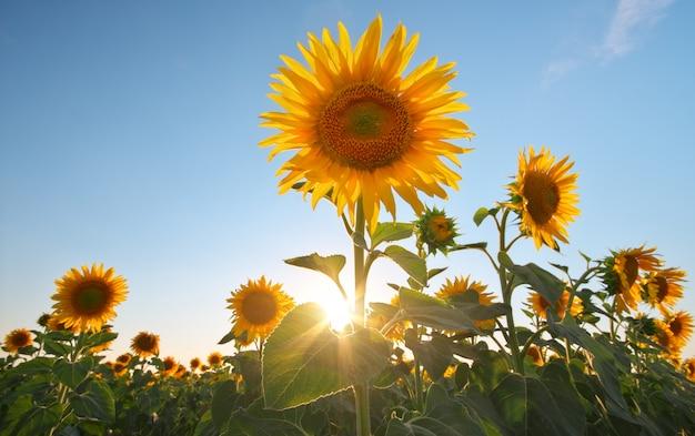 Campo de girassóis ao pôr do sol. Foto Premium