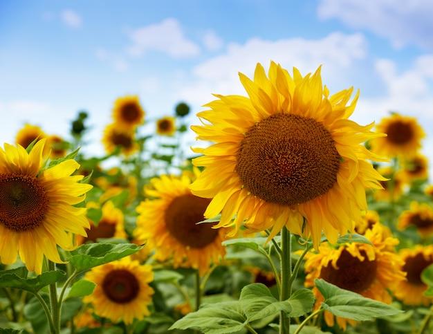 Campo de girassóis de floração Foto Premium