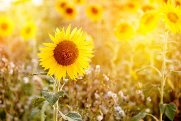 Campo de girassóis na luz do sol Foto Premium