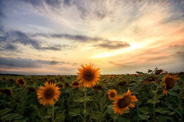 Campo de girassóis no pôr do sol Foto Premium