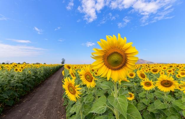 Campo de girassol lindo no verão com céu azul Foto Premium