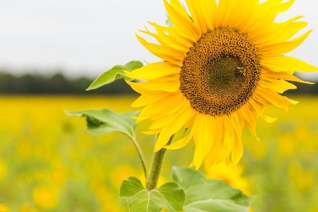 Campo de girassol plantado para sementeira para produção de óleo. Foto Premium
