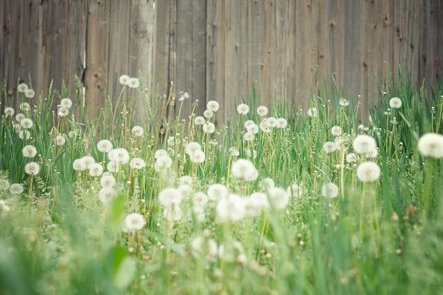 Campo de leão. campo surpreendente com dentes-de-leão brancos no por do sol. Foto Premium