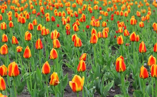 Campo de lindas tulipas vermelhas em tempo de primavera Foto Premium