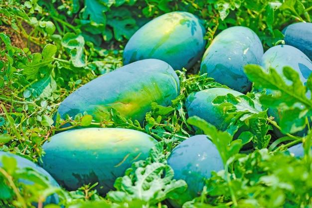 Campo de melancia indiana Foto Premium