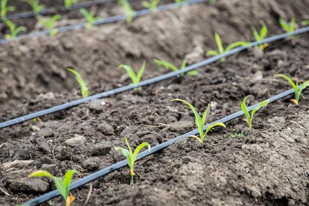 Campo de milho pequeno com irrigação por gotejamento Foto Premium