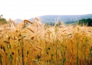 Campo de milho próximo knayton Foto gratuita