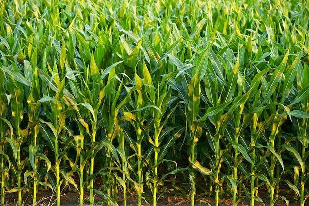 Campo de milho Foto gratuita
