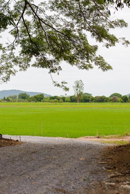 Campo de mudas de arroz Foto Premium