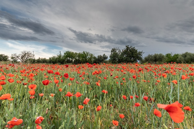 Campo de papoilas vermelhas sob a tempestade Foto Premium