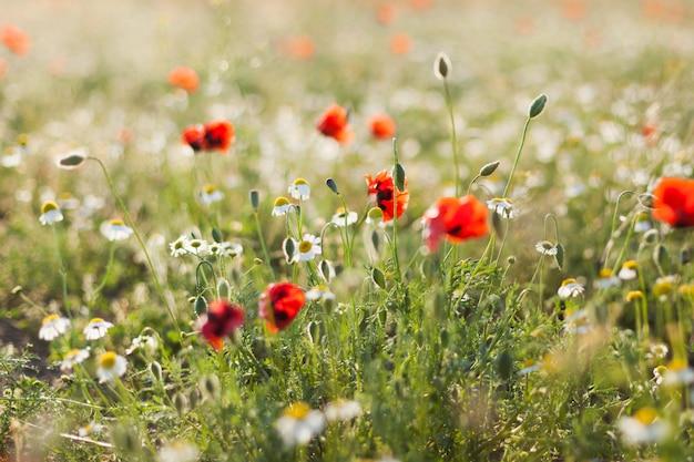 Campo, de, papoula milho, flores papaver, rhoeas, em, primavera Foto Premium