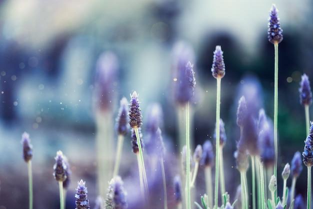 Campo de plantas de lavanda. flor de lavandula angustifolia. fundo violeta de florescência das flores selvagens com espaço da cópia. Foto Premium