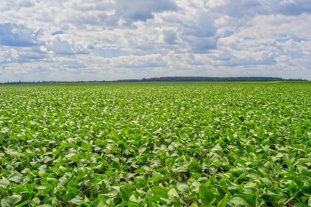 Campo de soja verde no período de floração. limpe de doenças e pragas, saudável Foto Premium