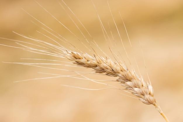 Campo de trigo. close-up espigas de trigo dourado. bela natureza paisagem do sol. cenário rural sob a luz do sol a brilhar. Foto Premium