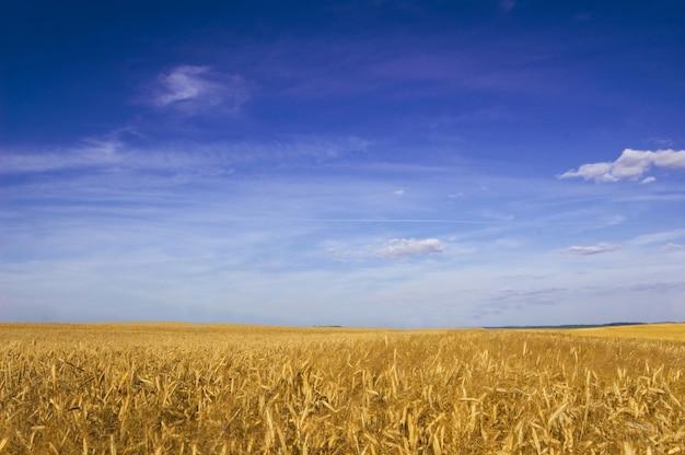 Campo de trigo Foto gratuita
