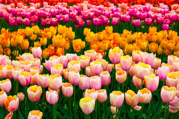 Campo de tulipa em jardins keukenhof, lisse, holanda Foto gratuita