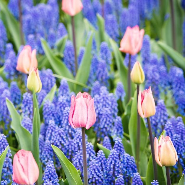 Campo de tulipas cor de rosa e jacinto muscari Foto Premium