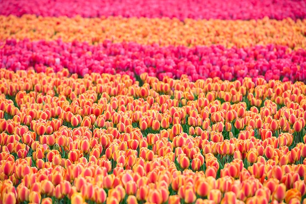 Campo de tulipas multicoloridas na holanda Foto Premium