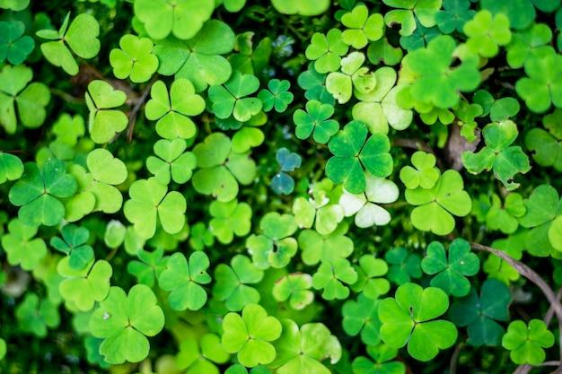 Campo de um fundo de trevo verde. trevos de três folhas. ótimo para o dia de são patrício Foto Premium