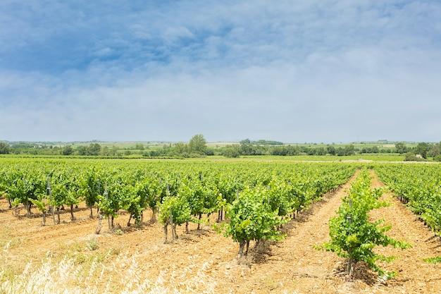 Campo de vinhas com folhas com céu laranja e nuvens Foto Premium