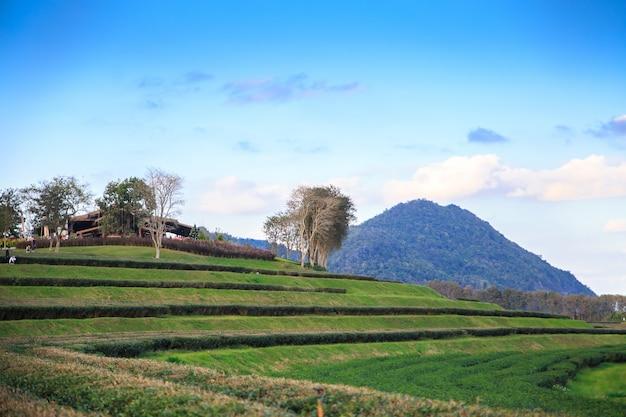 Campo fresco do chá verde do close up com fundo do céu azul. conceitos de ambiente. Foto Premium