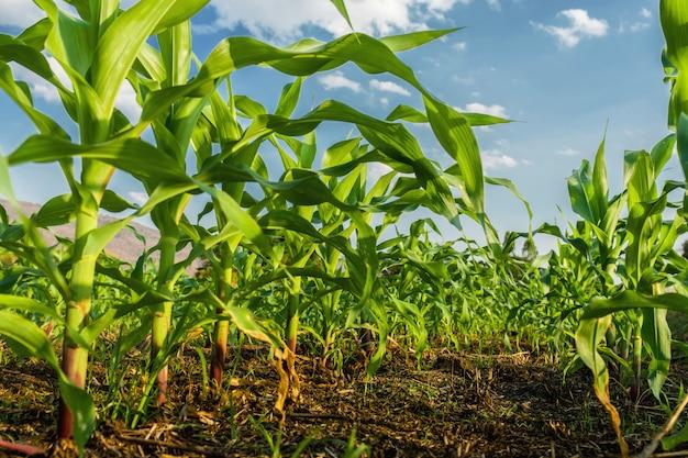 Campo milho, e, céu azul, fundo Foto Premium