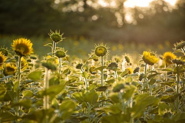 Campo verde de girassóis florescendo ao pôr do sol Foto Premium