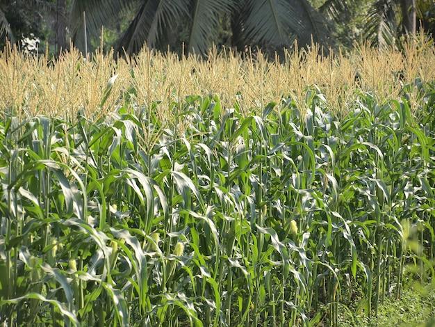 Campo verde de milho crescendo na tailândia Foto Premium