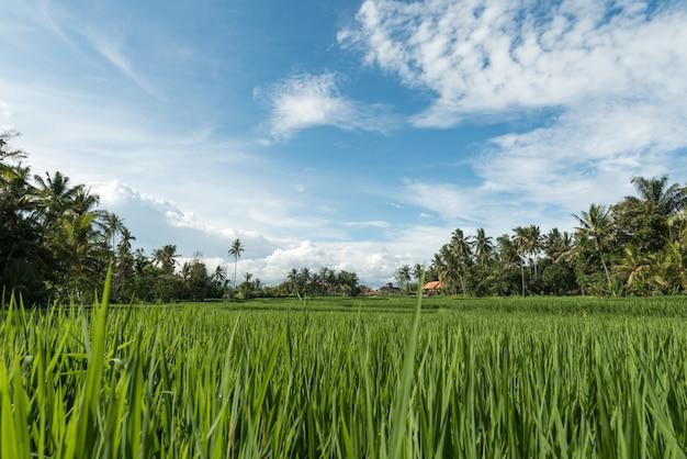 Campos de arroz em ubud Foto gratuita
