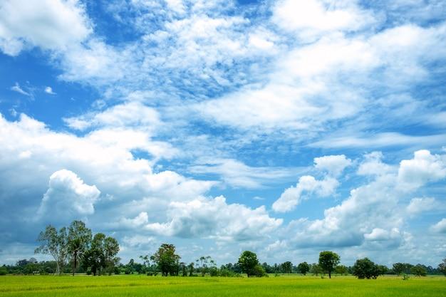 Campos de arroz verde e céu azul Foto Premium