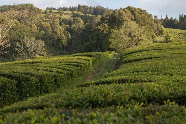 Campos de chá gorreana Foto Premium