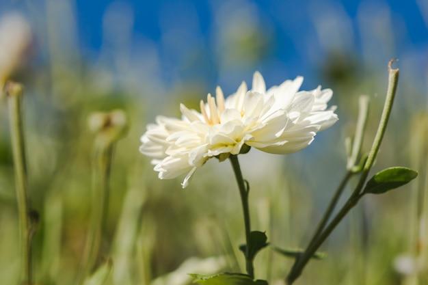 Campos de flores brancas, dendranthema morifolium, cultivadas nas terras altas Foto Premium