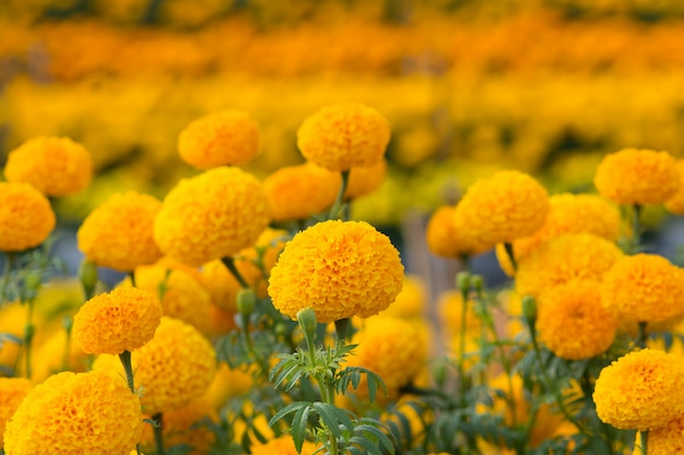 Campos de flores de calêndula laranja Foto Premium