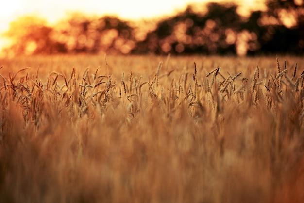 Campos de trigo Foto gratuita