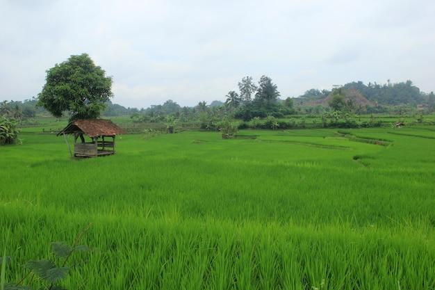 Campos extensivos de arroz em indonésio Foto Premium
