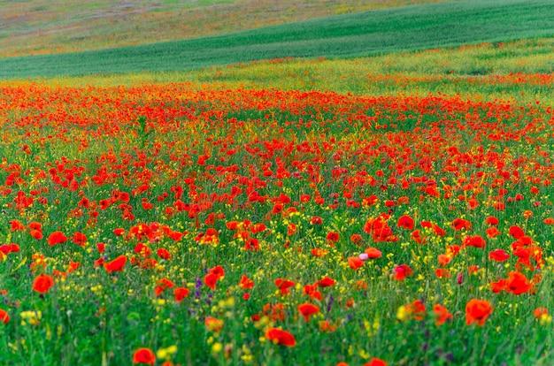 Campos selvagens de papoilas vermelhas em crimeia, bakhchisarai. Foto Premium