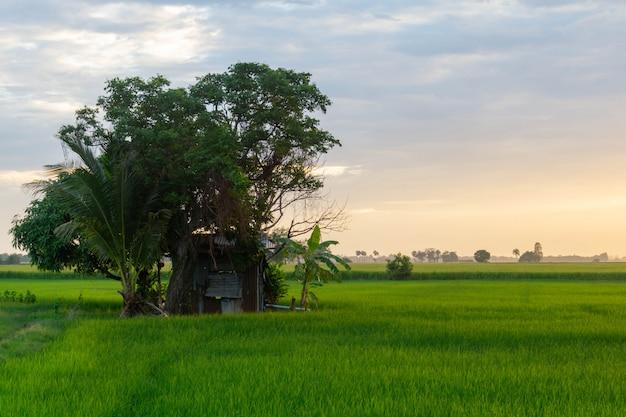 Campos verdes e cabana no arrozal, no crepúsculo o céu é dourado. Foto Premium