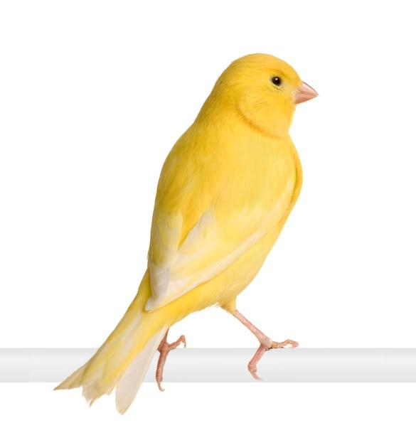 Canário amarelo - serinus canaria em seu poleiro isolado Foto Premium