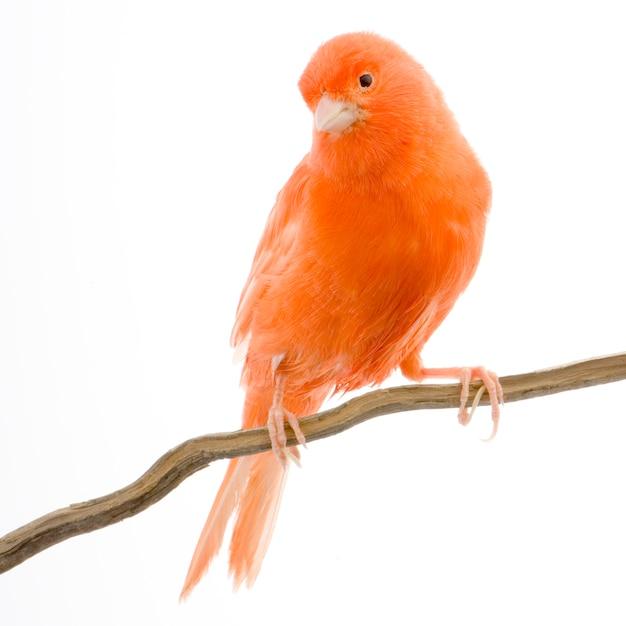 Canário vermelho em seu poleiro isolado Foto Premium
