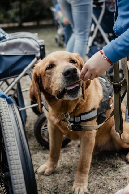 Canis dog therapy. cão labrador e crianças deficientes na grama verde Foto Premium