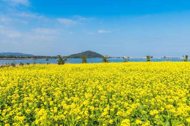 Canola campo em seongsan ilchulbong, ilha de jeju, coreia do sul Foto Premium