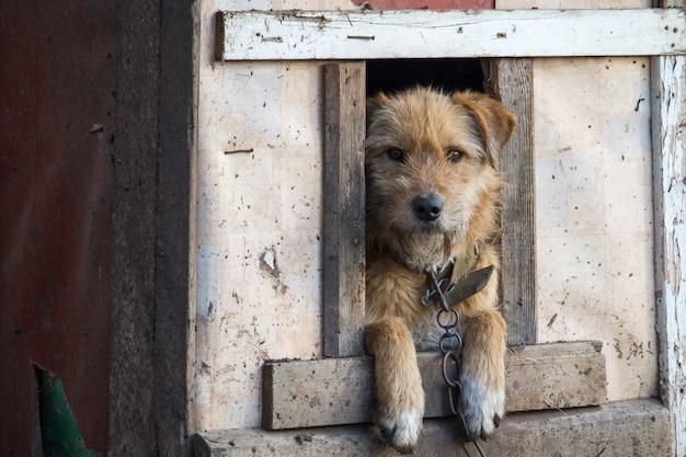 Cão acorrentado no canil de madeira com a cabeça esperando para ser lançado Foto Premium