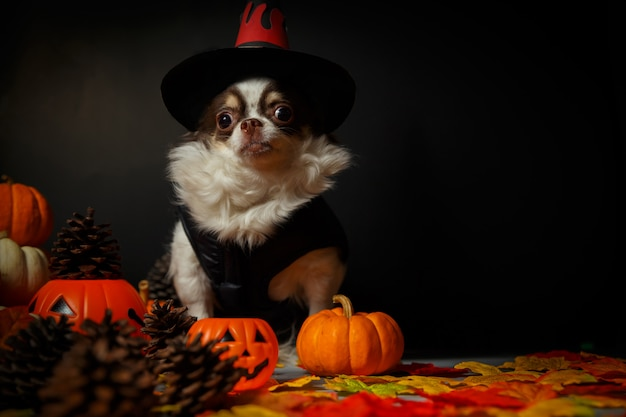 Cão adorável chihuahua usando um chapéu de bruxa de halloween e segurando uma abóbora no escuro. Foto Premium