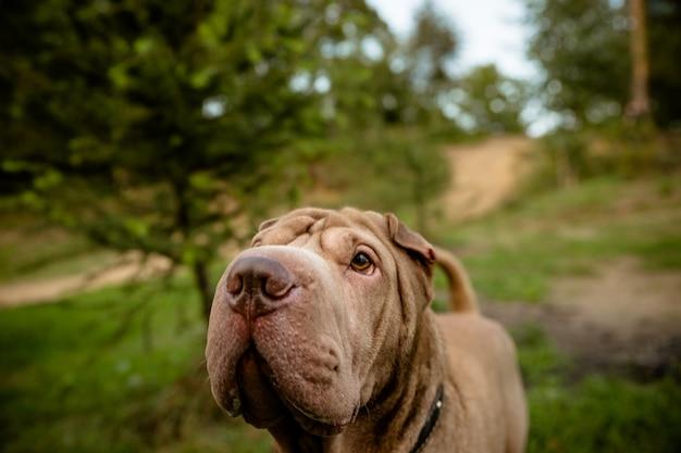 Cão andando no parque. cão de raça pura shar pei Foto Premium