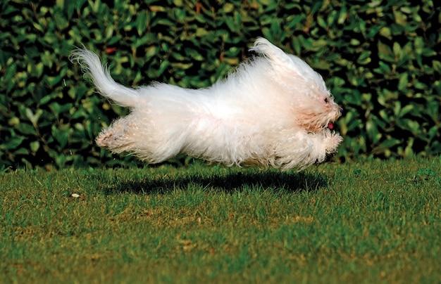 Cão bichon branco bolonhesa Foto Premium
