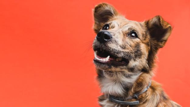 Cão bonito amigável olhando para cima cópia-espaço Foto Premium