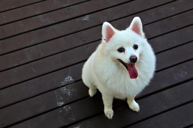 Cão bonito branco spitz japonês