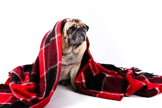 Cão bonito coberto com manta vermelha e preta Foto gratuita